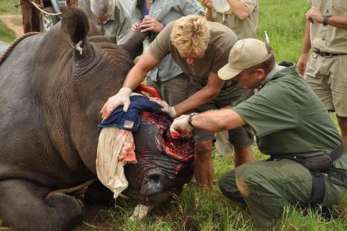 amyntika.gr : rhino Και πάλι το χειρότερο ΚΤΗΝΟΣ είναι ο άνθρωπος. Σκληρές εικόνες με λαθροθηρία ρινόκερων