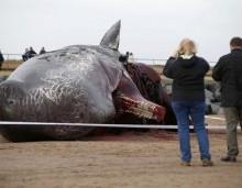 Φάλαινες ξεβράστηκαν νεκρές στις βρετανικές ακτές